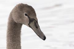 Молодой лебедь на общем Саутгемптона стоковое изображение