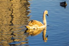 Молодой лебедь плавает в озере города стоковое изображение