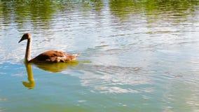 Молодой лебедь плавает на пруде видеоматериал