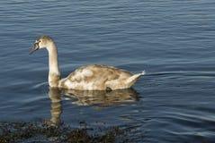 Молодой лебедь Стоковое Изображение