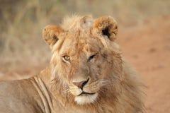 Молодой лев в Masai Mara стоковое изображение rf