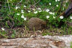 Молодой лес ежа весной среди ветрениц Стоковое Изображение RF