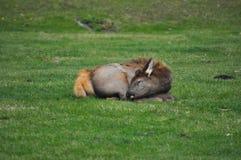 Молодой лось спать в осени стоковые фотографии rf