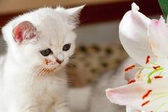 Молодой маленький белый великобританский кот сидя рядом с цветком лилии стоковые фото