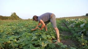 Молодой мужской огурец рудоразборки фермера на органической ферме eco видеоматериал