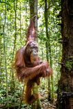 Молодой мужчина орангутана Bornean на дереве в естественной среде обитания Wurmbii pygmaeus Pongo орангутана Bornean в одичалой п Стоковое Изображение