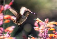 Молодой мужчина Широк-замкнул колибри на Pentstemon стоковые изображения