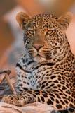 Молодой мыжской леопард на заходе солнца на ветви стоковое фото