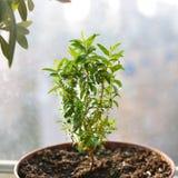 Молодой небольшой зеленый мирт с листьями, растя в солнечном свете в конце бака вверх Вечнозеленый завод, используемый для украше стоковое изображение
