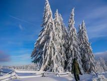 Молодой неопознаваемый фотограф восхищая сосны покрытые со снегом стоковые фото