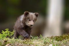 Молодой новичок бурого медведя в передних частях Стоковое Изображение