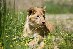 Молодой новичок льва в одичалом стоковое фото