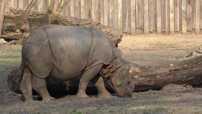Молодой носорог на зоопарке видеоматериал