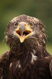Молодой облыселый орел смотря вас стоковое изображение
