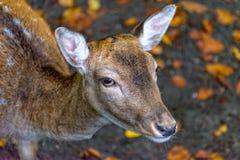 Молодой олень в своем поле стоковая фотография