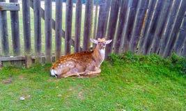 Молодой олень отдыхает на зеленой траве около загородки стоковая фотография