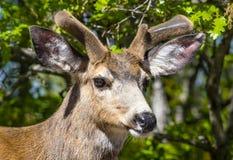 Молодой олень самца оленя осла растя в его Antlers стоковая фотография