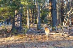 Молодой олень стоит все еще на крае леса стоковое фото rf