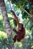 Молодой орангутан Стоковые Изображения