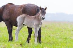Молодой осленок лошади przewalski Стоковое Изображение