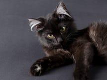 Молодой очаровательный черный кот с белыми волосами в ушах Стоковое Изображение