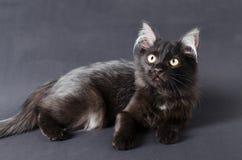 Молодой очаровательный черный кот с белыми волосами в ушах Стоковое фото RF