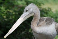Молодой пеликан Стоковое Изображение RF