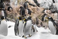 Молодой пингвин короля, группа в составе пингвины в зоопарке стоковое изображение