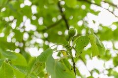 Молодой плодоовощ грецкого ореха с зеленой раковиной на ветви с зелеными листьями Стоковые Изображения RF