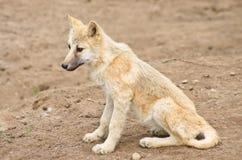 Молодой приполюсный волк Стоковые Фотографии RF
