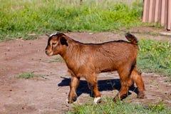 Молодой ребенк козы коричневого цвета пигмея части Стоковая Фотография