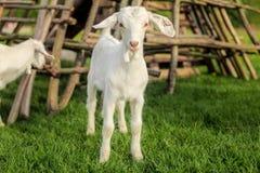 Молодой ребенк козы, на траве свежей весны зеленой с деревянным шкафом сена стоковые изображения rf