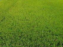 Молодой рис растя в зеленых полях рисовых полей стоковые изображения