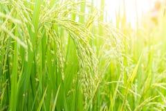молодой рис Стоковая Фотография