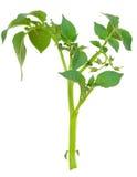 Молодой росток картошки Стоковые Изображения RF