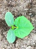 Молодой росток огурца на предпосылке земли Стоковые Фото