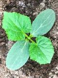 Молодой росток огурца на предпосылке земли Стоковая Фотография