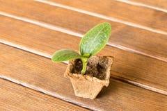 Молодой росток цукини на деревянной предпосылке Селективный фокус стоковое фото rf