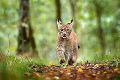 Молодой рысь в зеленой сцене живой природы леса от природы Идя евроазиатский рысь, животное поведение в среду обитания Cub одичал стоковое изображение rf