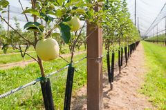 Молодой сад яблока Стоковое фото RF