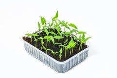Молодой саженец зеленого перца пускает ростии в баках торфа изолированных на белой предпосылке садовничать принципиальной схемы Стоковое Фото