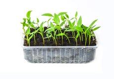 Молодой саженец перца пускает ростии в баках торфа изолированных на белой предпосылке садовничать принципиальной схемы Стоковая Фотография RF