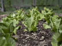Молодой салат Romaine в домашнем саде стоковые изображения rf