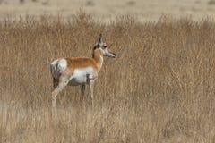 Молодой самец оленя антилопы Pronghorn Стоковые Фото
