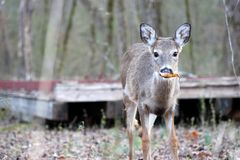 Молодой самец оленя осенью стоковые изображения rf