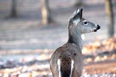 Молодой самец оленя смотря прочь стоковое фото rf