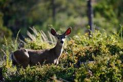 Молодой самец оленя стоит после обеда Солнце стоковые изображения