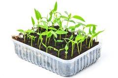 Молодой свежий саженец перца пускает ростии в баках торфа изолированных на белизне Стоковые Изображения