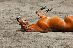Молодой свертывать лошади вверх ногами с потехой стоковые изображения rf
