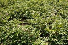Молодой, сильный, здоровый завод картошки Стоковое фото RF